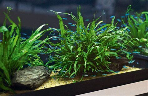 best low light aquarium plants low tech planted tank quoteko com planted aquarium