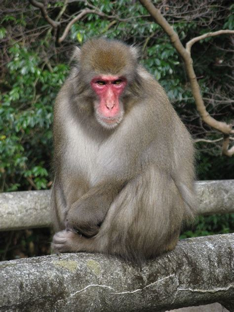 Japanese macaque - Wikipedia