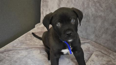 puppy week at home eight week puppy is present to arrive at battersea dogs