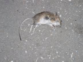 Dead Mouse File Dead Mouse 2 Jpg