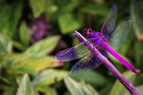 purple dragonfly www pixshark com images galleries