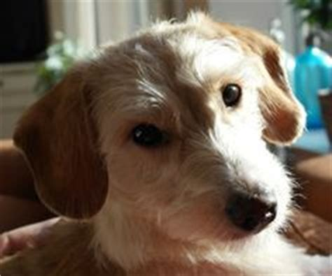 mauxie puppy maltese x dachshund mix mauxie puppy