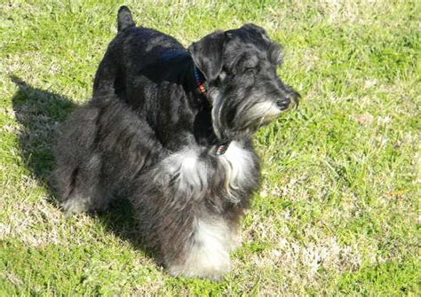 black and silver giant schnauzer puppies what is a phantom miniature schnauzer