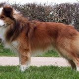 what breed of is lassie what breed is lassie the breeds trivia quiz fanpop