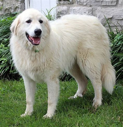 big fluffy breeds fluffy dogs breeds picture