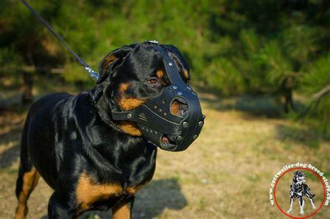 rottweiler muzzle genuine leather muzzle agitation rottweiler muzzles