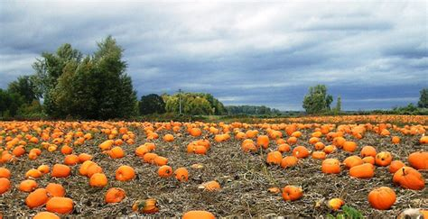 friendly pumpkin patch near me the ultimate guide to northwest pumpkin patches portland