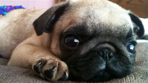 the cutest dogs in the world 15 pug puppies that prove they re the cutest breed in the world