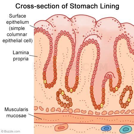cross section of stomach 282 best images about diagramatically speaking on