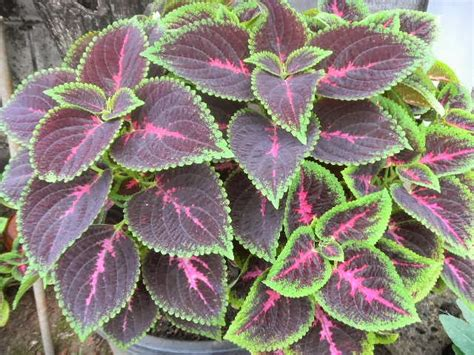 manfaat  khasiat tanaman iler blog dream
