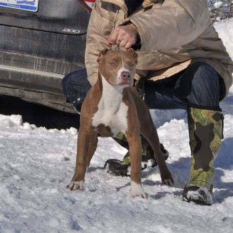 bully pitbull puppies for sale shera worlds finest pit bulls
