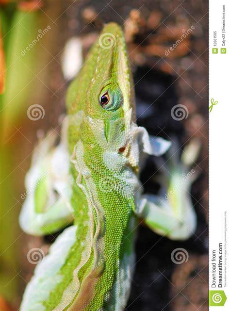 lizard shedding skin royalty free stock photo image