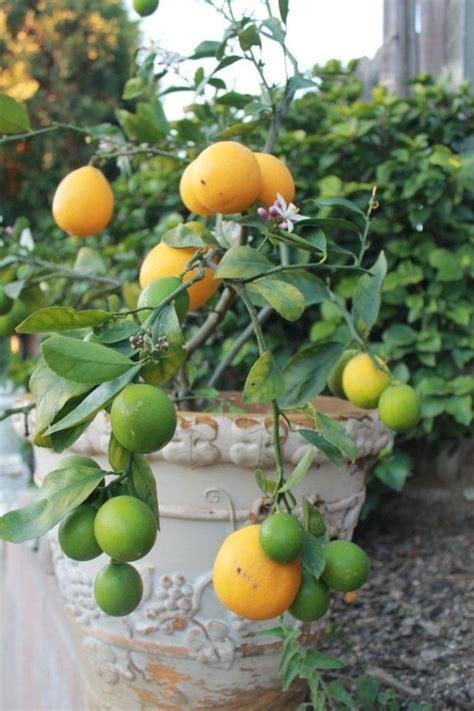 potted meyer lemon tree garden