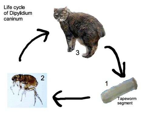 cycle of a cat diagram ocelot parts diagram ocelot free engine image for