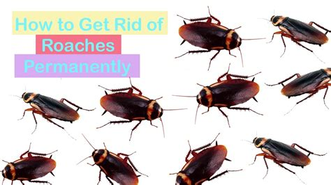 home remedies to get rid of roaches quickly how