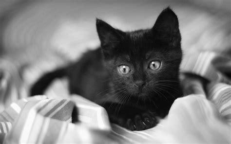 black kitten hd wallpaper cute black cat wallpapermost downloaded wallpapers full