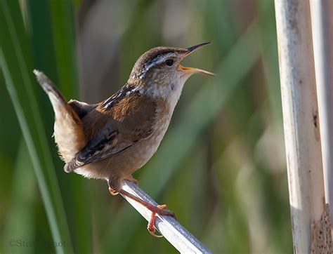 carolina wren one of the smallest birds with the biggest