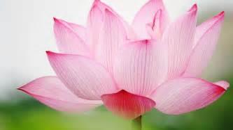 Lotus Name Lotus 6897076