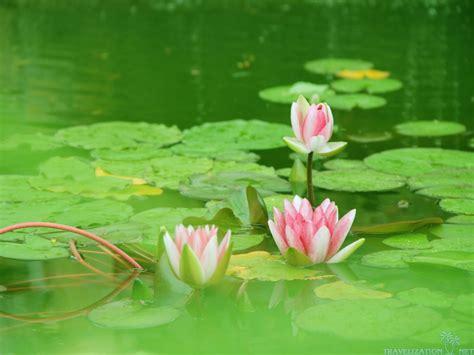 Finding Lotus Pink Flower Hd Wallpaper 2560x1440 23367