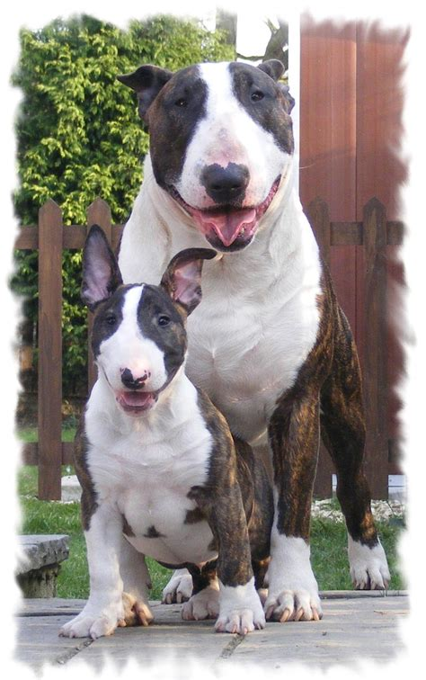 12 reasons why you should never own bull terriers 12 reasons why you should never own bull terriers