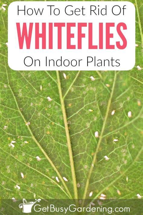 best 25 white bugs on plants ideas on pinterest mealy
