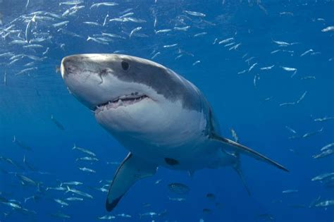 great white attacks fishing boat watch new jersey fisherman attacked by great white shark