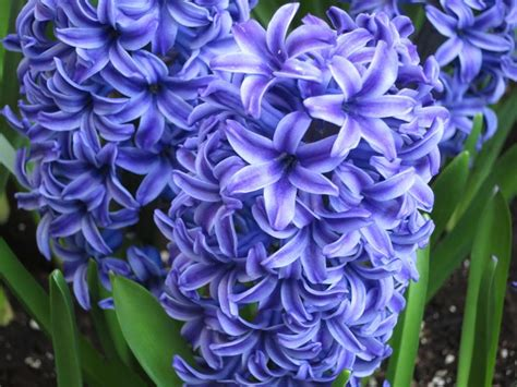 fiori giacinto il giacinto bulbi coltivare giacinto
