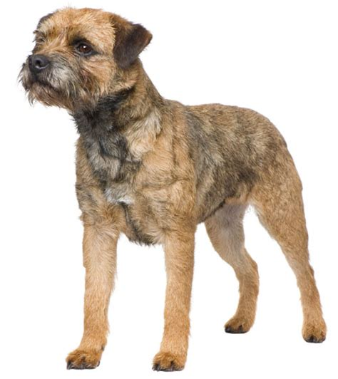 border terrier information facts pictures and