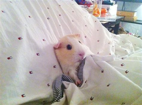 hamster bed nighty night cute animals bed pets good night guinea pig