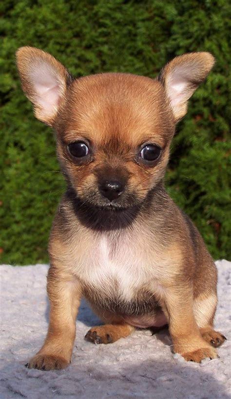 small medium breeds small medium breeds breed dogs spinningpetsyarn