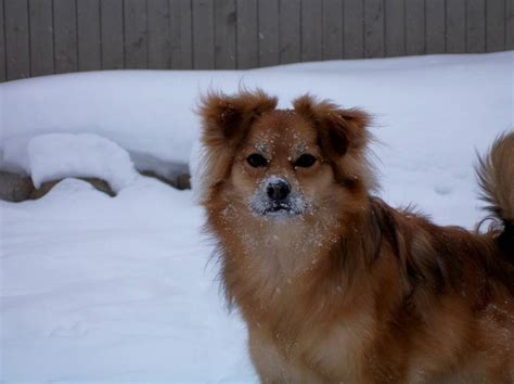 pomeranian aussie 17 best images about aussie pom on home toys and households