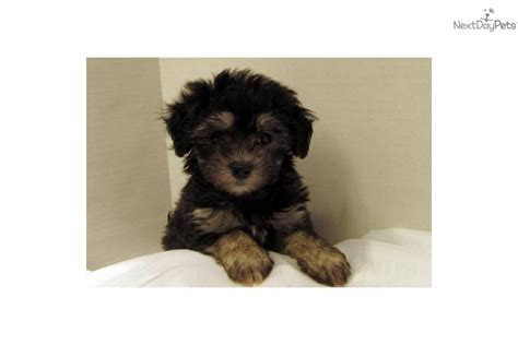 maltipoo puppies for sale in arkansas maltipoo puppy breeds picture