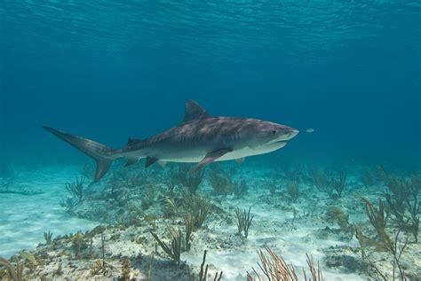 baby shark hd hd animals baby tiger sharks