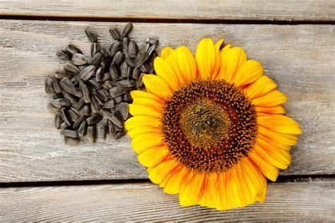 semi di girasole ricette cucina i semi oleosi cucina semplicemente