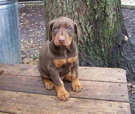 alimentazione chihuahua 3 mesi cuccioli dobermann cuccioli cani cura dei cuccioli di