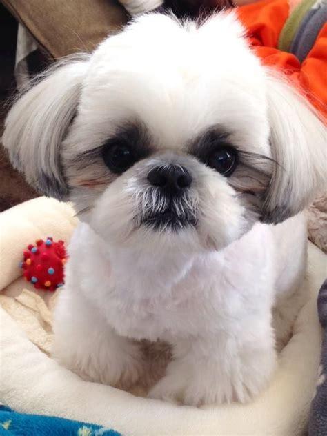 fotos de shih tzu fotos de perros de raza shih tzu animalesmascotas