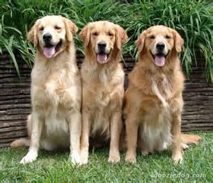 Golden Retriever Dogs The Golden Retriever