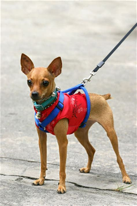 small puppy harness small harness how to the right type for your pet bandanas
