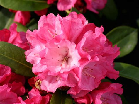 Rhododendron Flachwurzler by Rhododendron Morgenrot Rhododendron Yakushimanum
