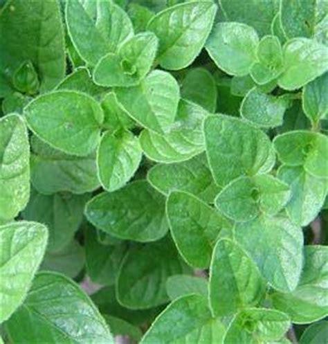 Harga Bibit Oregano harga tanaman mint tanamanbaru
