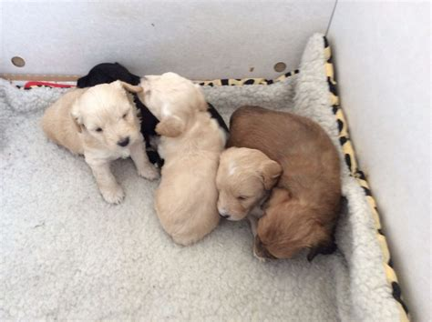 choodle puppies choodle puppies cranleigh surrey pets4homes