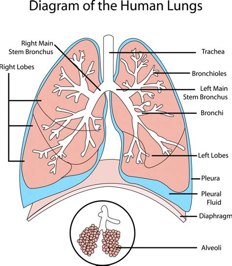 sections of the lungs diagram of lungs to label anatomy organ