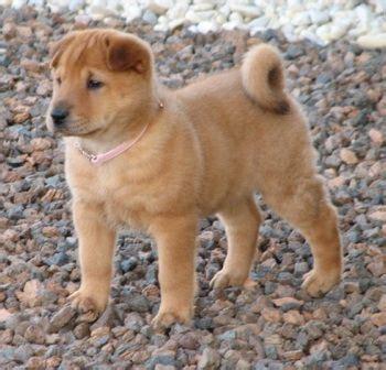 pitbull cross golden retriever 25 best ideas about shar pei mix on bull baby bulldogs and pet breeds