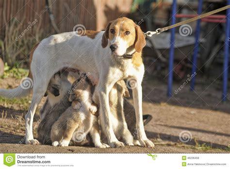 puppy feeding hound puppies feeding stock photo image 46236458