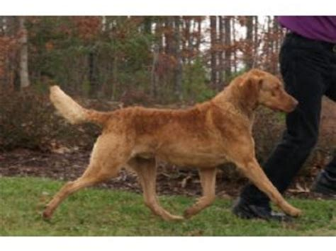 chesapeake bay retriever puppies for sale nc chesapeake bay retriever puppies for sale