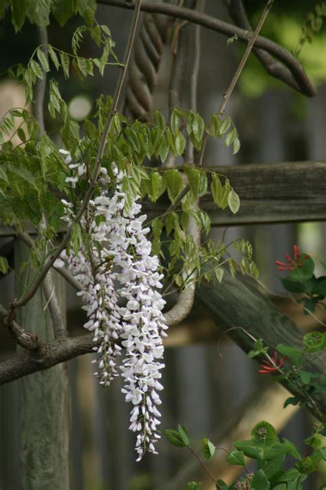 wisteria vine is a romantic garden beauty hgtv
