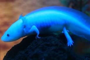 axolotl colors axolotl chapter 1 what is an axolotl