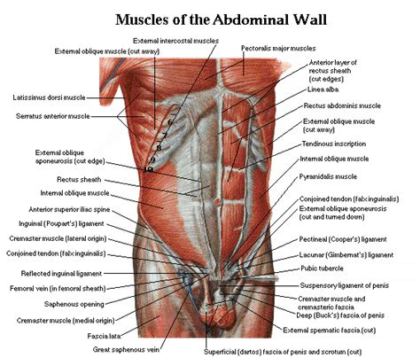 c section and abdominal muscles abdominal muscles fitness pinterest abdominal