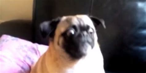 pug help pug shouts help when confronted by technology huffpost