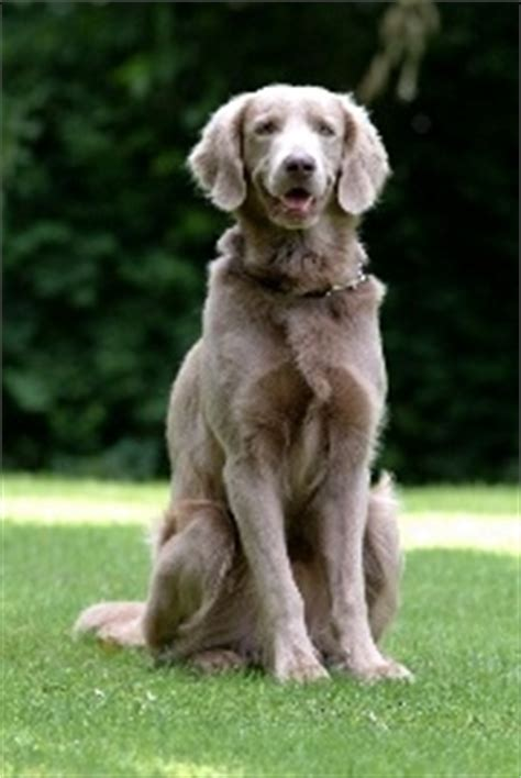 golden retriever weimaraner mix look like a weimaraner mixed with a golden retriever animal